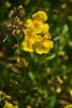 Mimulus guttatus -- Common Yellow Monkeyflower