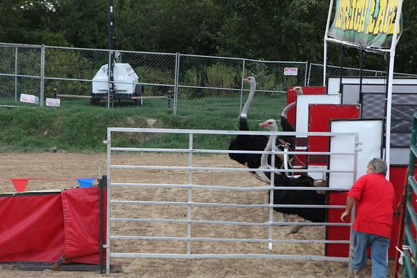 2012 Delta Fair - Osterich Races
