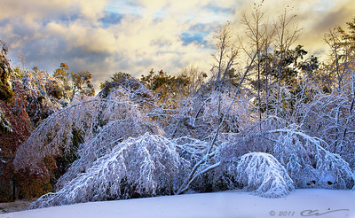 The day breaks after a stormy night in New England... These birches normally stand about 50-60 feet tall.