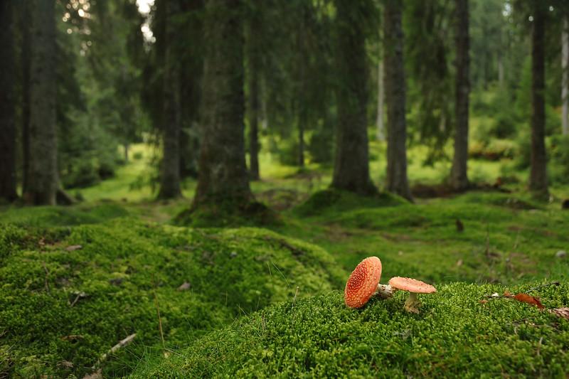 Wood of Mushrooms (Padish) — A gombák erdeje (Pádis-fennsík)