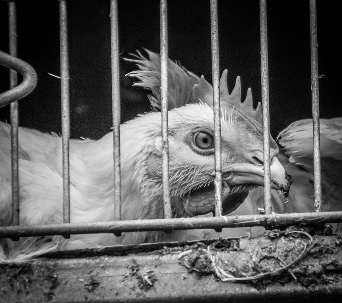 """This baby is not even six weeks old. He has been crammed into this feces-filled truck, and once at the slaughterhouse, will be electrocuted (if he's lucky) then dragged over a spinning blade (that may or may not kill him) and then immersed in a scalding bath. The birds who die in the bath are called ""red birds."" Think about that: scalded to death. They cannot be eaten. They live and die abused and it is perfectly legal. Please do not eat chicken, for it helps no animal.""<br /> <br />  - Marion Blackburn"