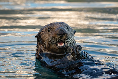 Naughty Sea Otter