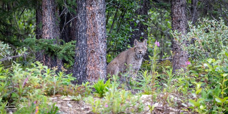 Eyes Locked with Lynx