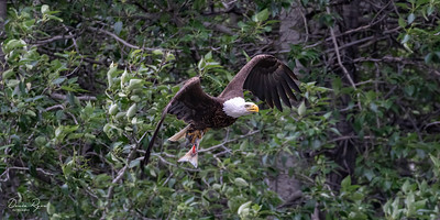 Lunch for a Bald Eagle