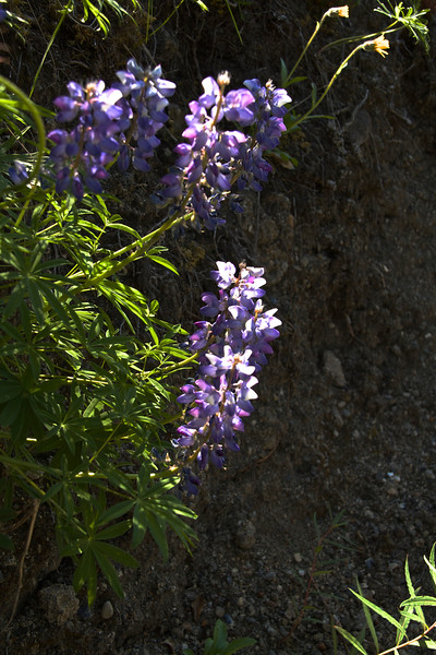 More lupine