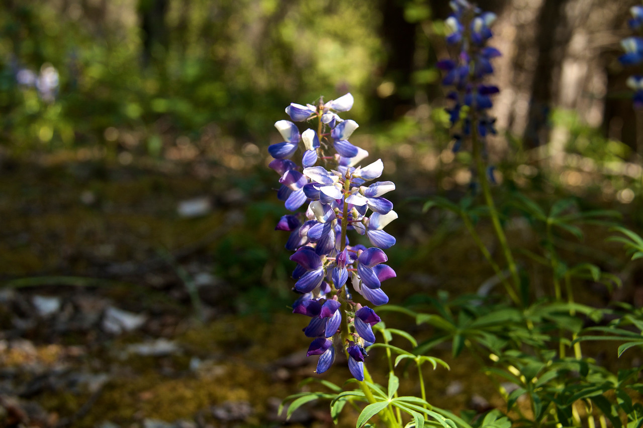 Lots of wildflowers along the trail. (Arctic Lupine)