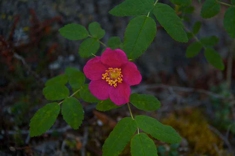 Wild rose along the trail