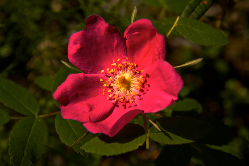 Another wild rose