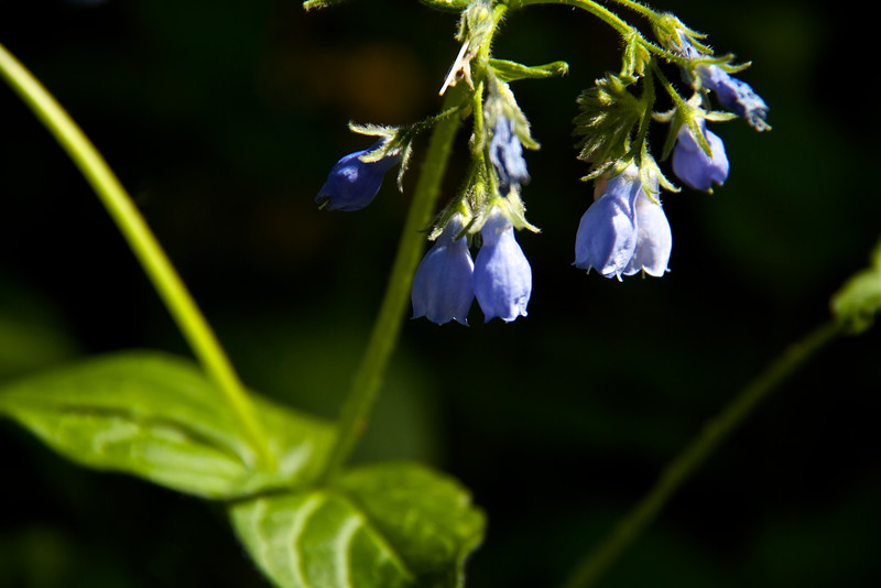 More wildflowers (Blue Bells)