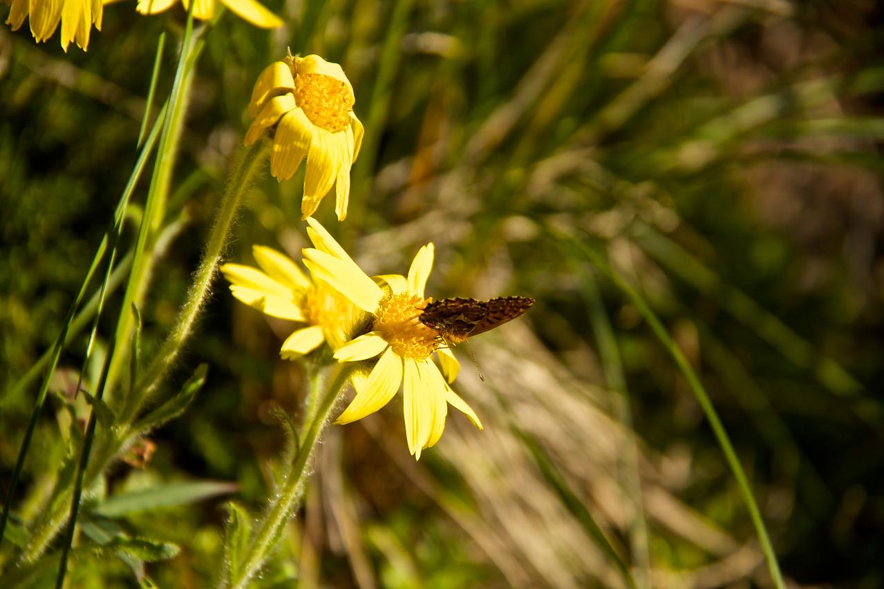 A Tiger Swallowtail enjoying some Frigid Arnica.
