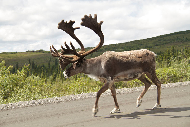 I was riding my bicycle up the hill around mile 15 when this caribou came trotting down the hill