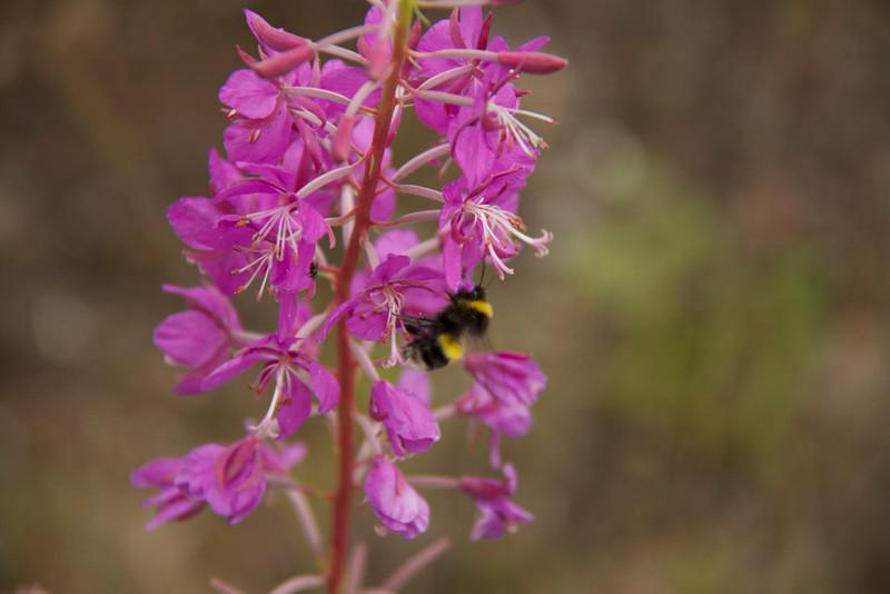 A bee enjoying some fireweed nectar