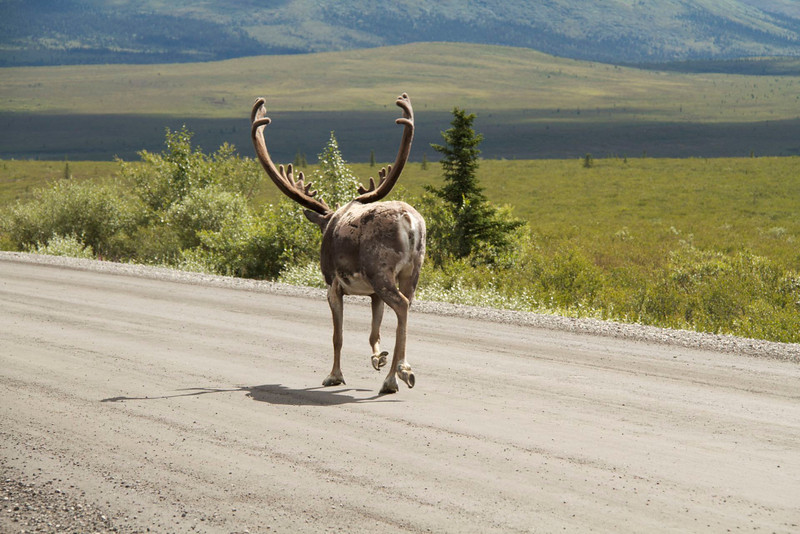 Fortunately I haven't heard of any caribou maulings