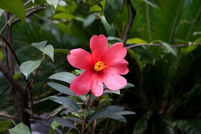 Beautiful camelia.