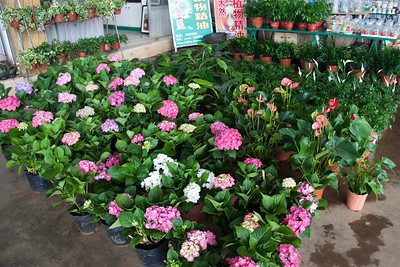 Hydrangeas, Anthuriums, and other plants for sale at the outdoor flower market.
