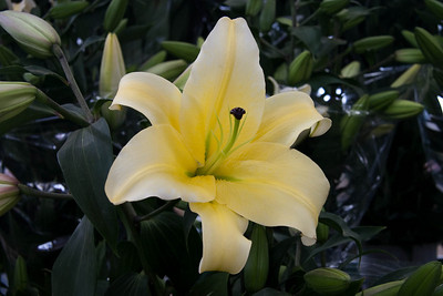 Large beautiful lily at the flower market.