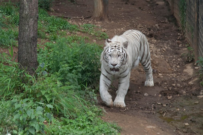 White tiger at the Kunming Zoo.
