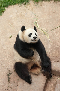 China's national treasure - Panda bear.