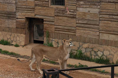 Female lion is looking up at the piece of meat which is dangled by a zoo visitor to tease her.
