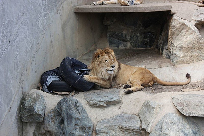 Yes, denim aged by lions, tigers and bears at a zoo in Japan!