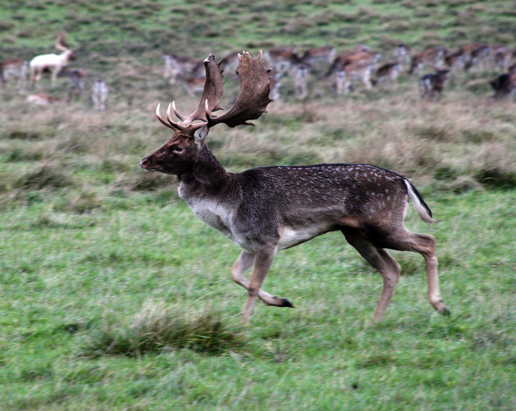 A stag keeping an eye on the herd.