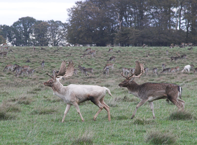 These two stags would run along together for a while, and then fight each other for a while.