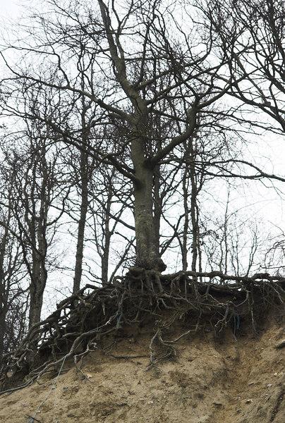 Tree in Boserup forrest near Roskilde, Denmark.