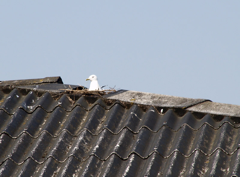 A seagull nesting in a hole in the roof of the building right across from where I work. Taken with the Zuiko 18-180 lens.