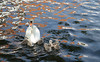 Mother swan and her seven cygnets.