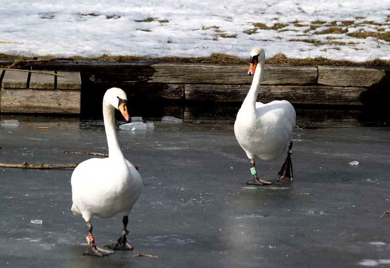 A couple of swans hoping to be fed.