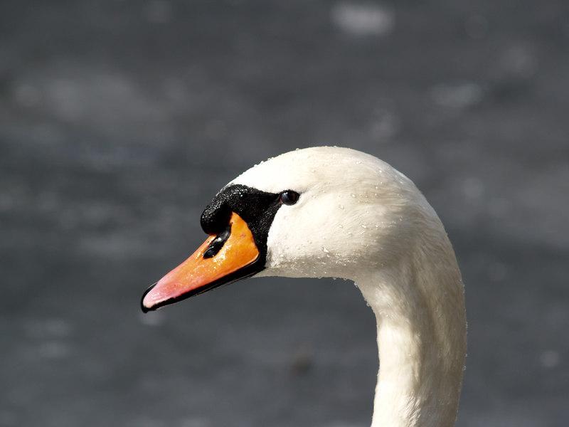 Swan portrait.