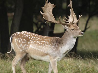 The Dear Deer