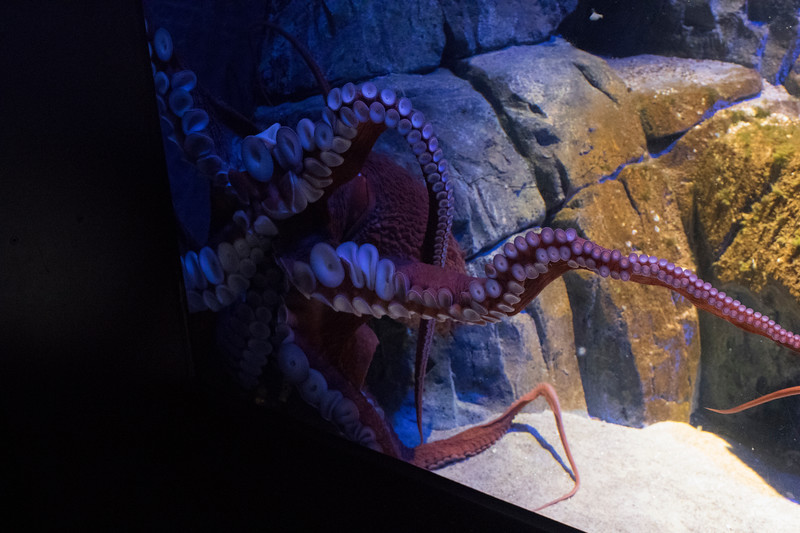 North Pacific Octopus