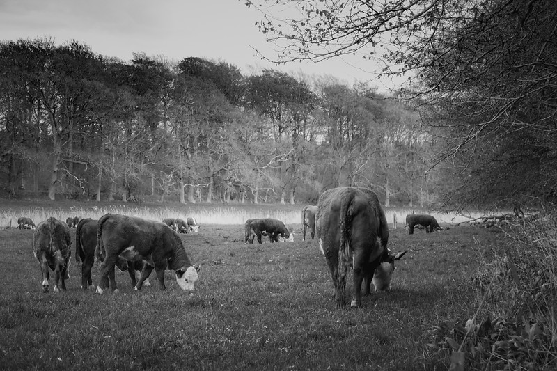 Køer på græs, Havnelev