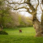 Køer på græs , Havnelev