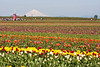 "Wooden Shoe Tulip Farm, <a href=""http://www.woodenshoe.com/index.html"">http://www.woodenshoe.com/index.html</a>"
