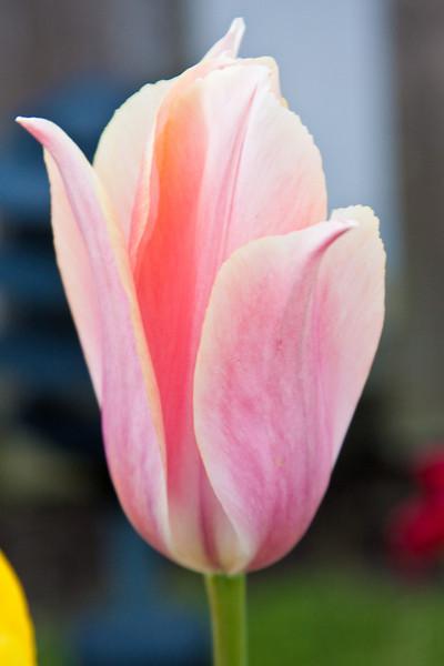 A tulip in Cannon Beach