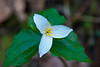 It's traditional to photograph the first Trillium of the year.