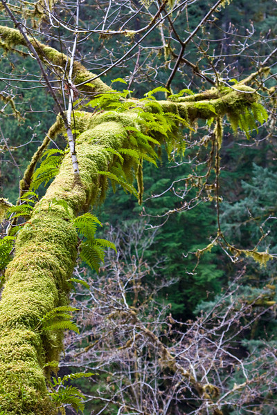 This vine maple reaching out over Tanner Creek in the Columbia River Gorge has so much moss on it that there are ferns growing in the moss. A mini-ecosystem on a tree. :-)