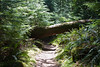 Low bridge! An ancient Sitka Spruce across the trail to Tillamook Head