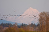A few dozen Canada Geese in front of Mt. Hood in pre-sunset color.