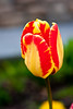 A tulip in Cannon Beach