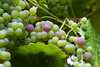 I liked the colors of these grapes as they ripen on a vine in my yard.