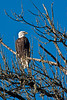 "A Bald Eagle at the Ridgefield NWR. <br />  <a href=""http://www.fws.gov/ridgefieldrefuges/complex/"">http://www.fws.gov/ridgefieldrefuges/complex/</a>"