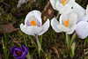 A few Crocus from the yard. There is no more sure sign of spring than Daffodils and Crocus.