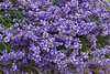 Lavender flowers in the Willamette Valley