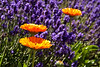"Calendula in the lavender at <a href=""http://libertynatural.com/olf/"">The Oregon Lavender Farm</a>"
