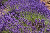 "<a href=""http://libertynatural.com/olf/"">The Oregon Lavender Farm</a>"