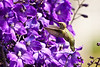 "A hummingbird in the delphinium at <a href=""http://www.butchartgardens.com"">Butchart Gardens</a>  Photo by Dennis"