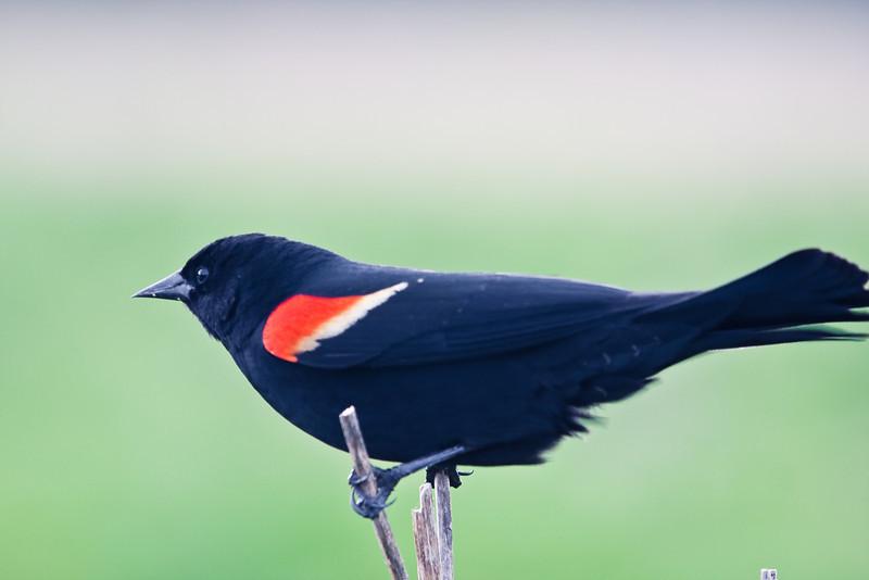 "Redwinged blackbird at <a href=""http://www.fws.gov/ridgefieldrefuges/ridgefield/index.html"">Ridgefield National Wildlife Refuge</a>"